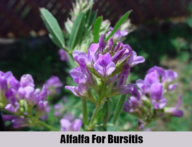 Alfalfa For Bursitis
