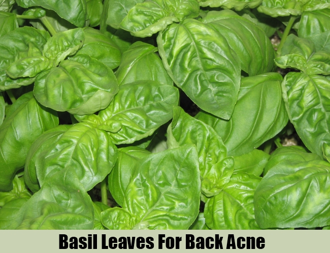 Basil Leaves For Back Acne