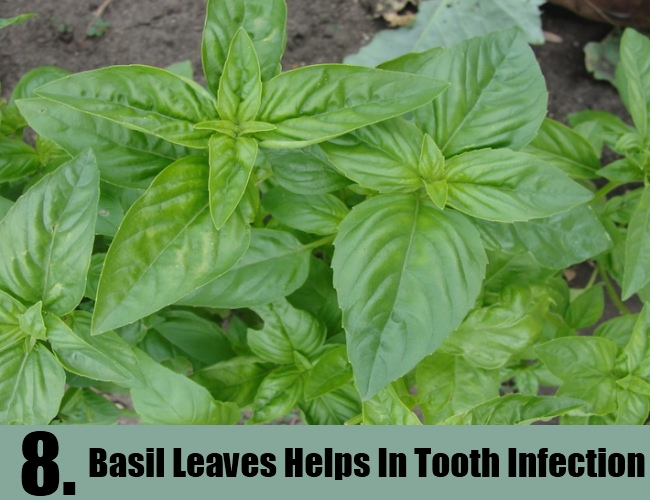 Basil Leaves Helps In Tooth Infection