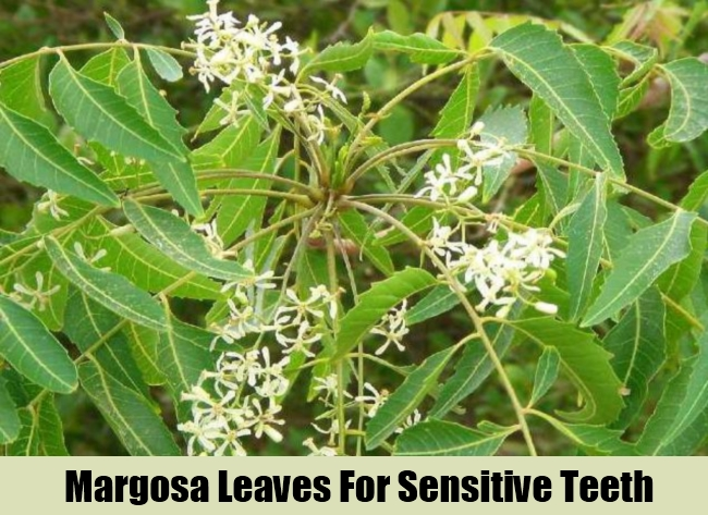 Margosa Leaves For Sensitive Teeth