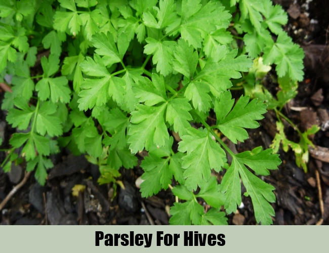 Parsley For Hives