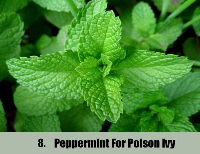 Peppermint For Poison Ivy