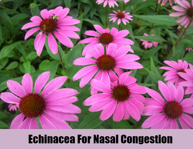 Echinacea For Nasal Congestion