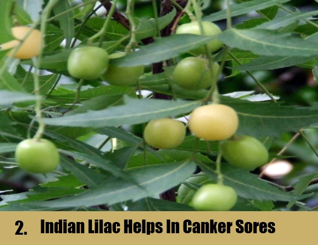 Indian Lilac Helps  In Canker Sores