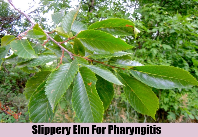 Slippery Elm For Pharyngitis