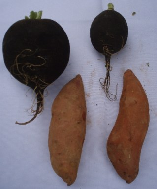 black radishes and sweet potatoes