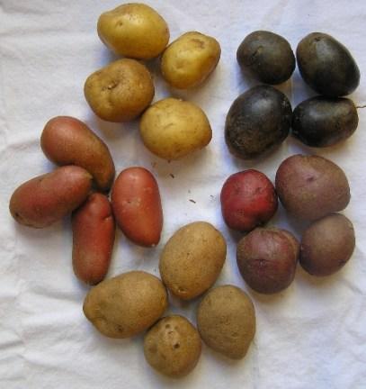 multiple potato varieties