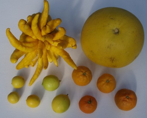 Buddha's hand citron and other citrus fruits