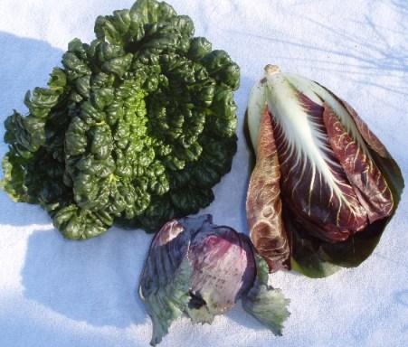 raddichio and purple cabbage
