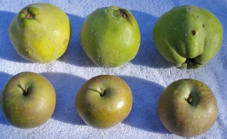 quinces and apples
