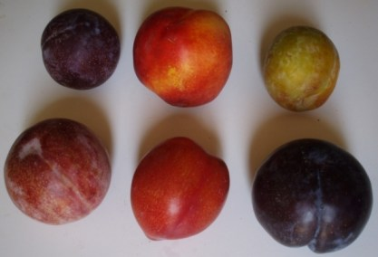 pluots and plums