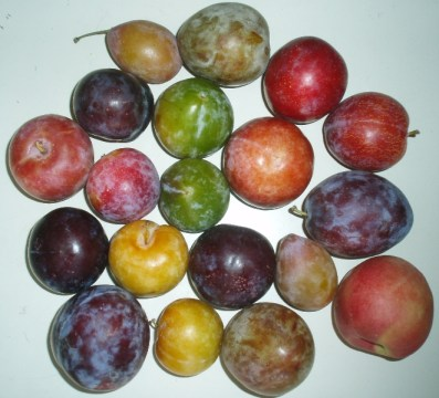 multiple varieties of stone fruit