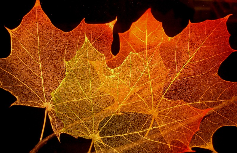 Maple_leaf_structure