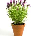 PageLines- lavender.jpg