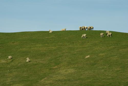mouton nz