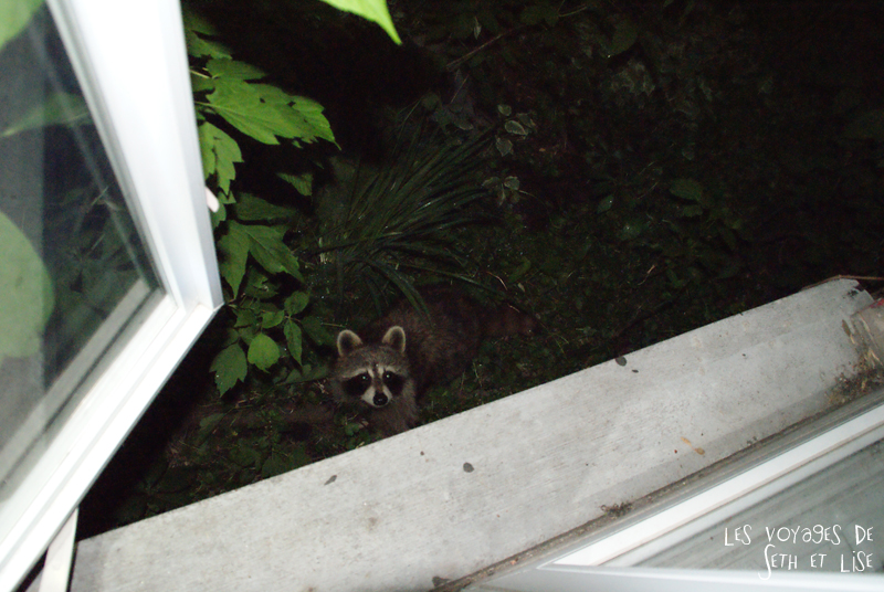 blog voyage canada montreal pvt whv raton laveur visiteur animal racoon