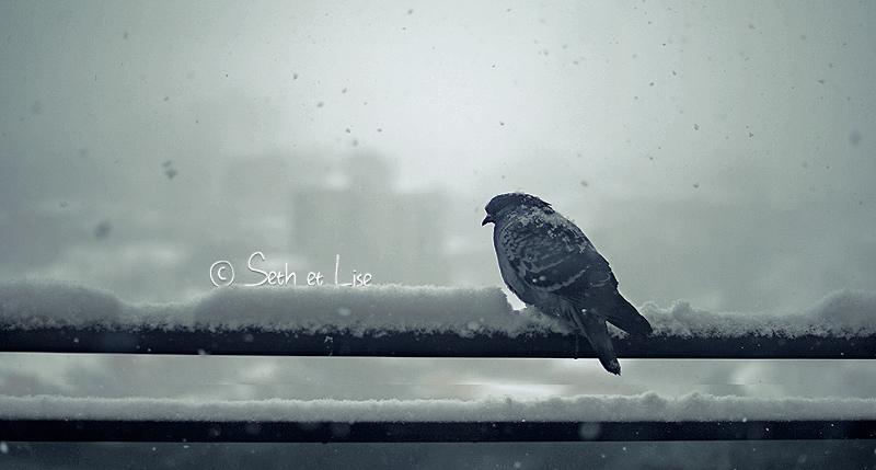 un pigeon dans la neige
