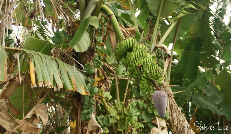 Bananes gratuites pour qui osera monter là haut!