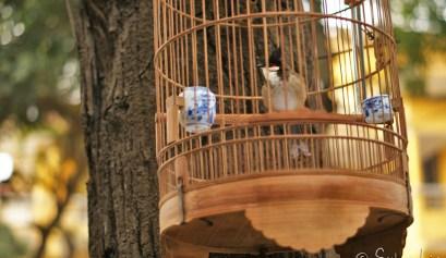 oiseaux vietnam cage