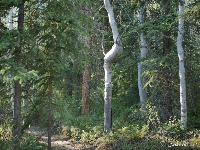 birch knot yukon