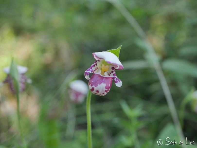 orchidees orchid trail dawson yukon