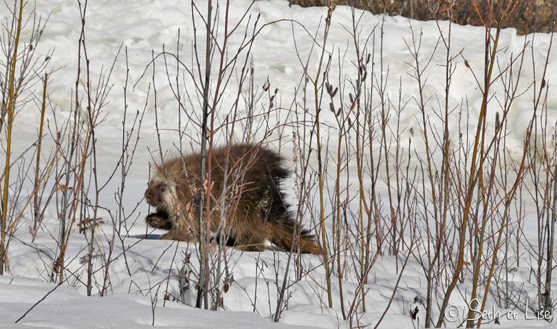 porcupine dawson yukon