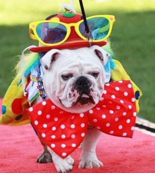 pet-pride-day-bulldog