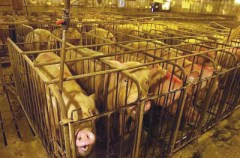 "The Chicago Tribune reported that at this ""hog hell"" in Bloomfield, Neb.: ""Dozens of dead piglets are dumped in piles or encased in pools of manure beneath the floor, having drowned there after falling through a hole. Dead hogs remain in their cages, discarded and stiff in walkways or rotting in pens as other pigs gnaw at their carcasses."" - Photo: Pete Souza, Chicago Tribune"