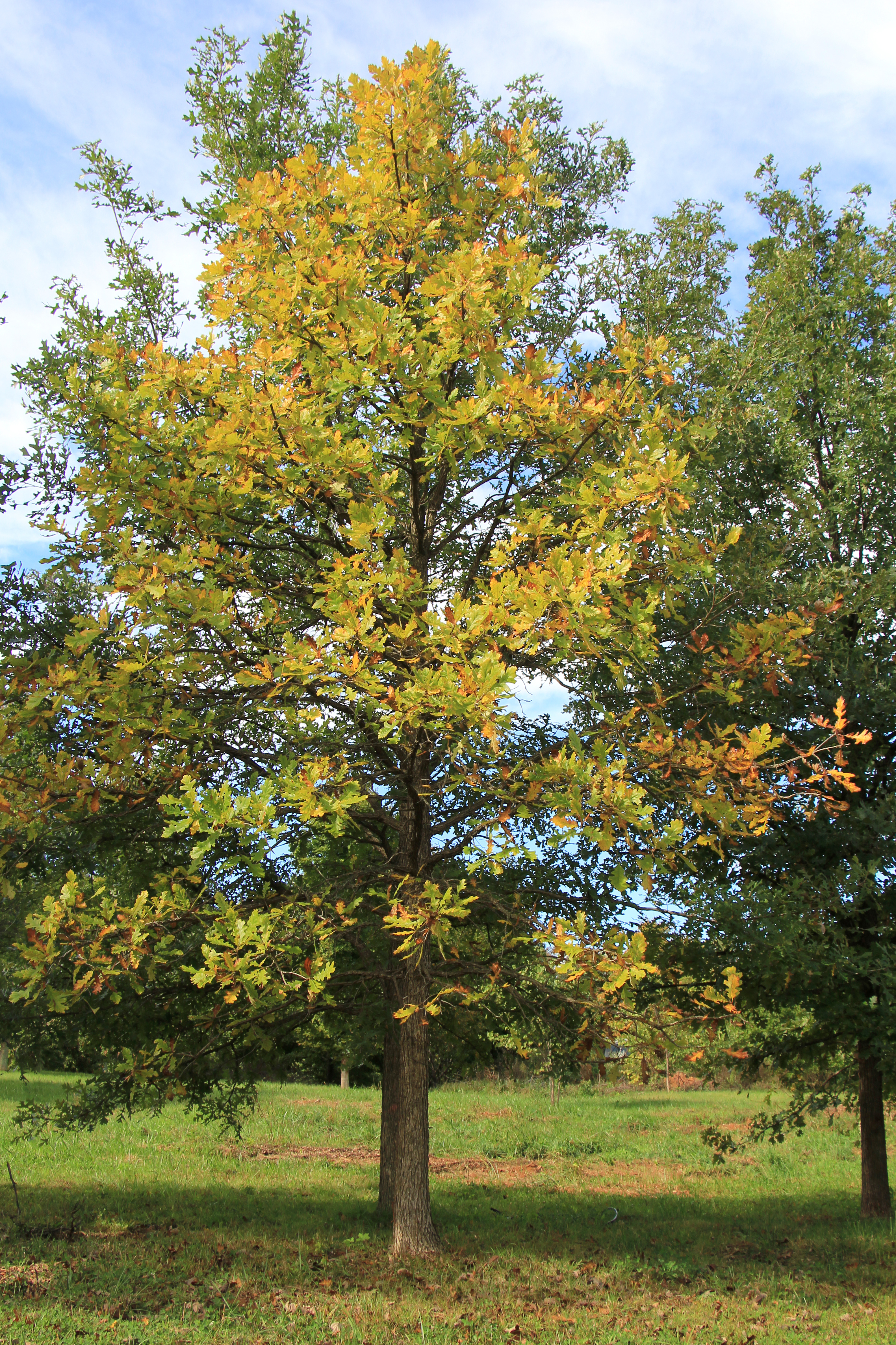 Rousing Burr Oak Entire Tree Fall Color Shade Tree Burr Oak Shade Tree Farm Burr Oak Tree Leaves Burr Oak Tree Bark houzz-03 Burr Oak Tree