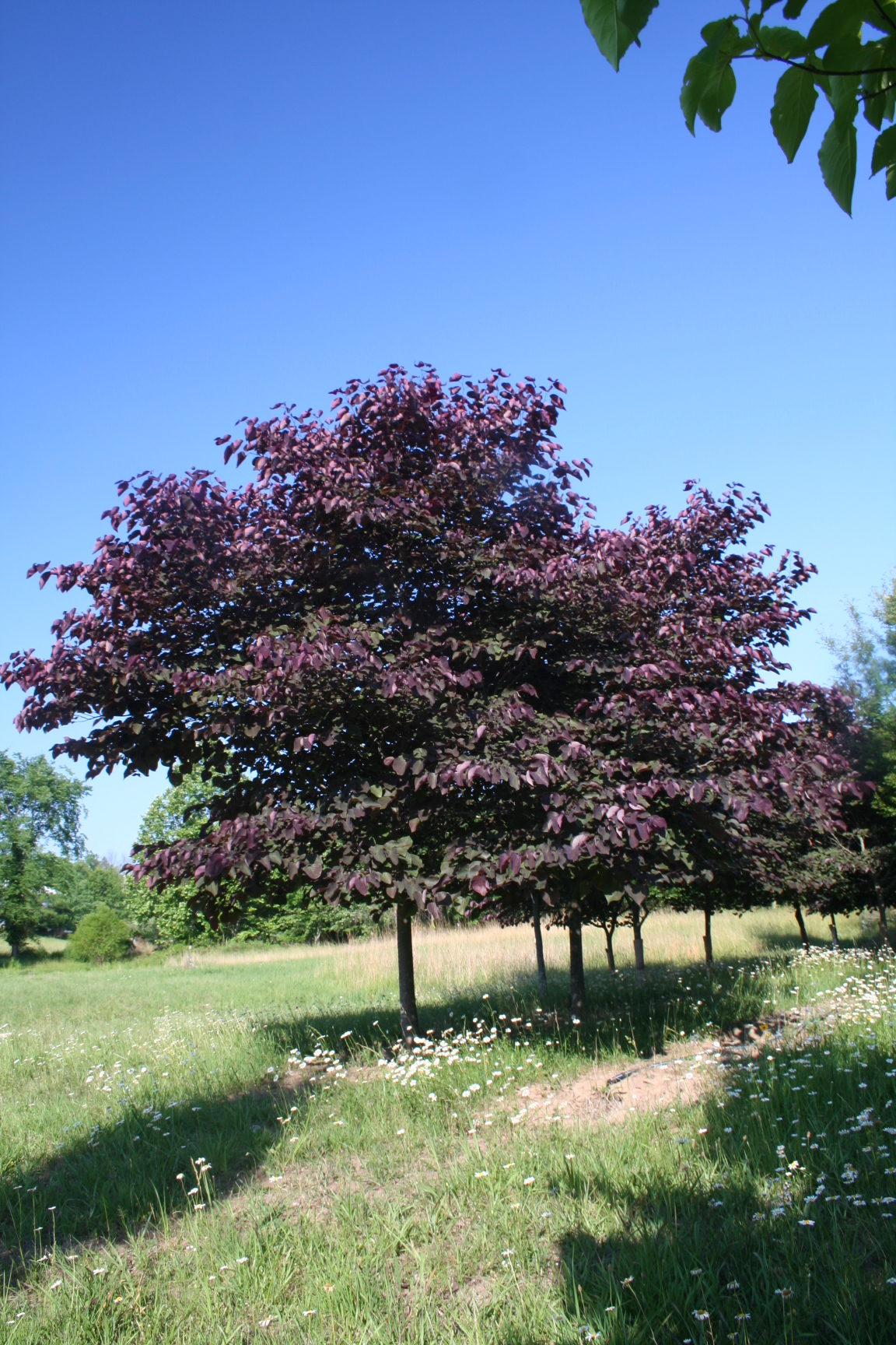 Fullsize Of Forest Pansy Redbud