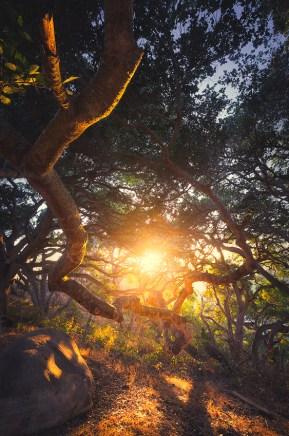 Santa Barbara Oak Tree