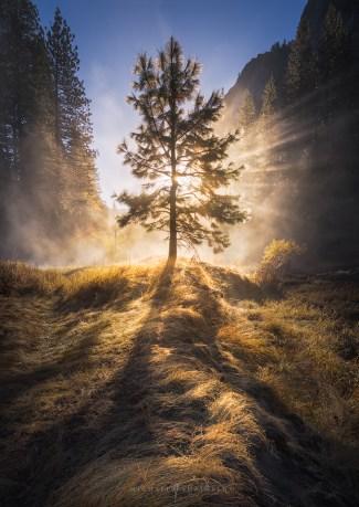 Yosemite Misty Foggy Tree Sunrise