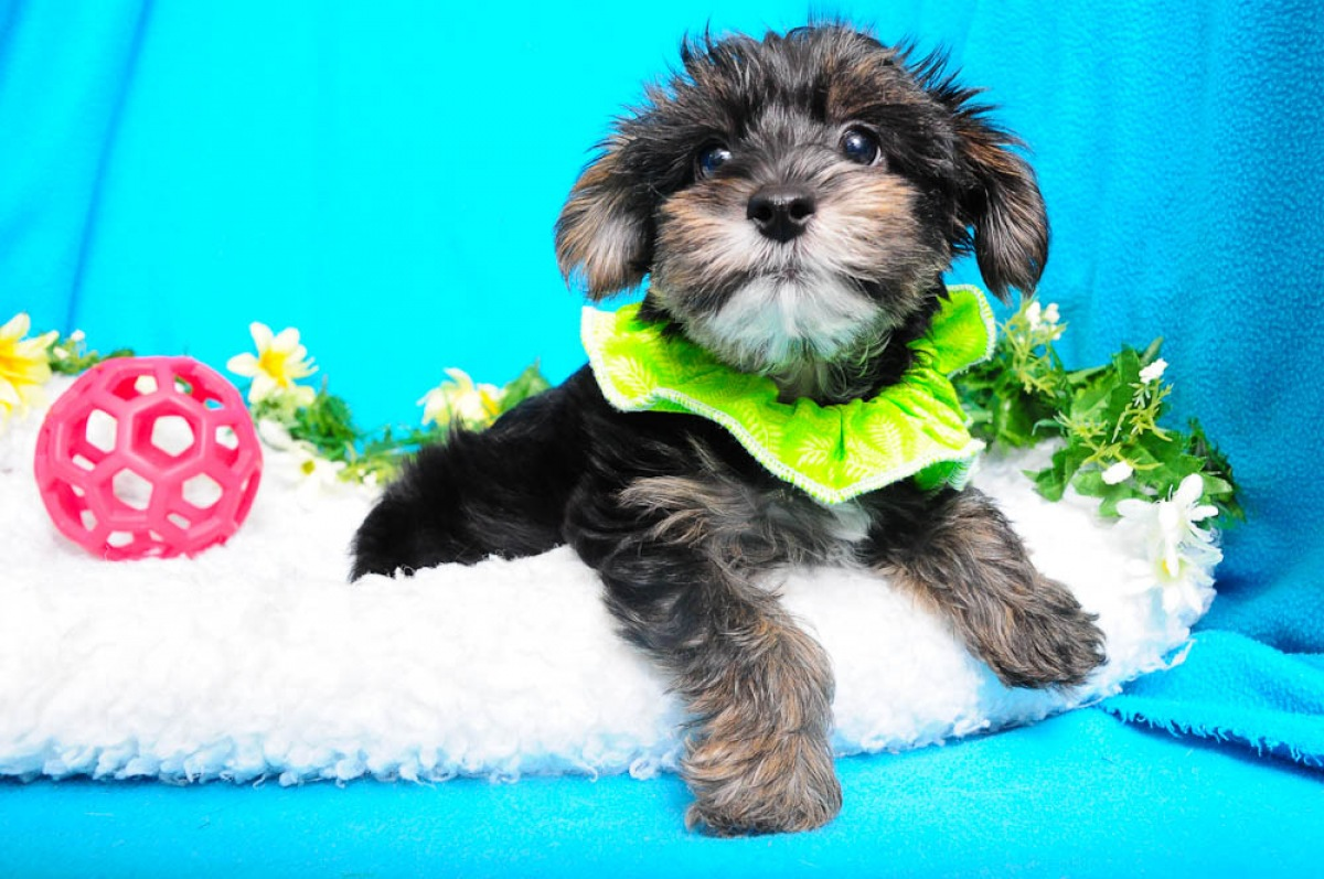 Diverting Stock Green Nj Shake A Paw New Puppy Maltese Yorkie Mix Full Grown Maltese Yorkie Mix Images Dominate Mix Breeds bark post Maltese Yorkie Mix