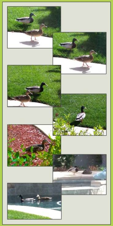 Ducks in the yard, sheiladelgado.com