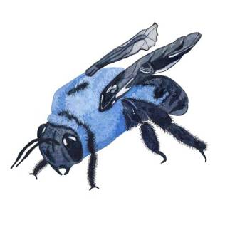 Carpenter Bee Revised. Watercolor on 140 lb. cold press paper. © 2013 Sheila Delgado