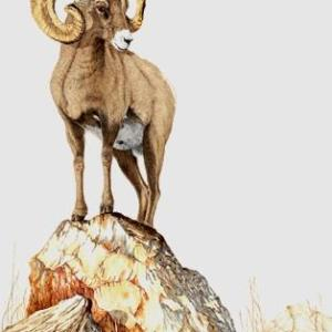 Sherry Steele Artwork - Peak of Perfection | Bighorn Sheep