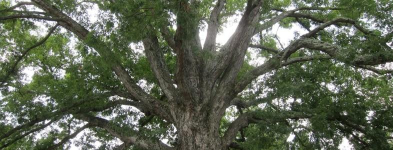 white-oak-tree-acorns