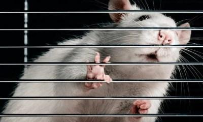 rato-de-laboratorio