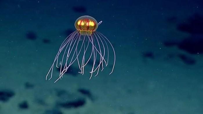smt-Jellyfish-capa