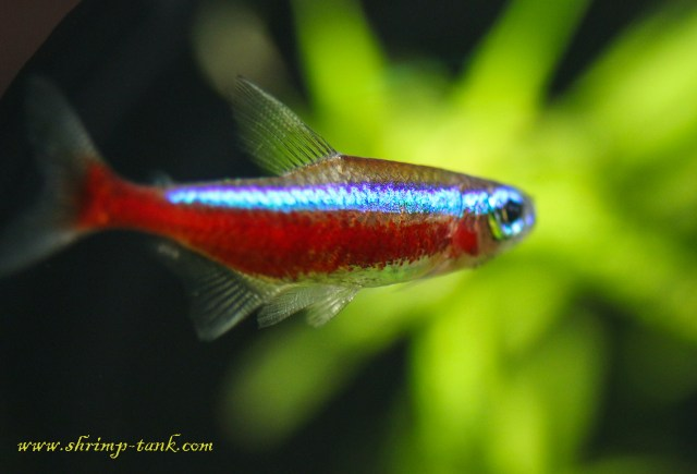 Tetra fish requirements cardinal tetras are good for Good community fish