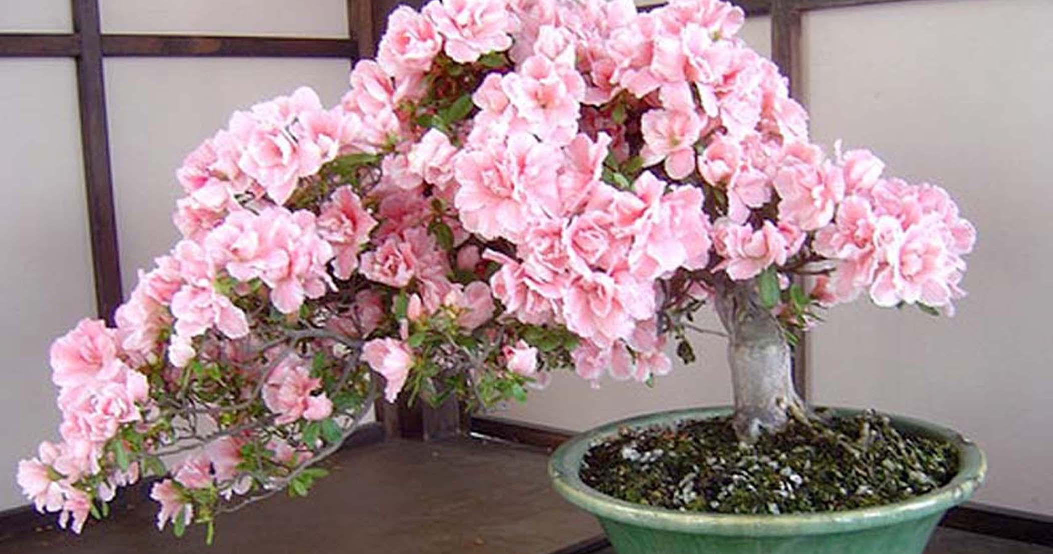Fullsize Of Cherry Blossom Bonsai Tree