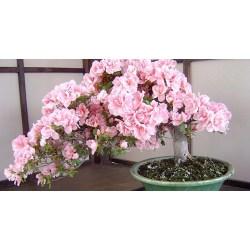 Small Crop Of Cherry Blossom Bonsai Tree