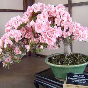 Cherry Blossom Bonsai Tree Seeds
