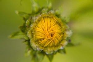 Gele bloem knop opgevouwen Vlindertuin