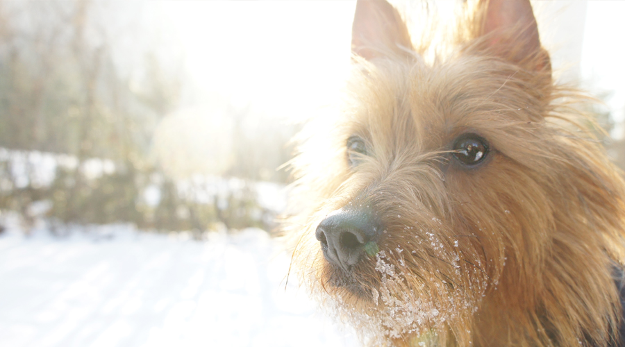australian_terrier_snow_10