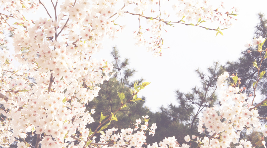 cherry_blossoms_06