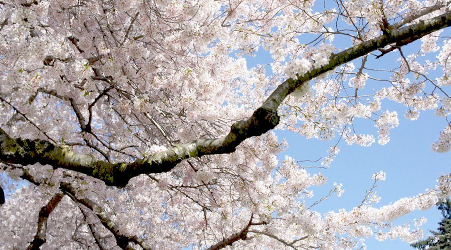 uw_cherry_blossoms3