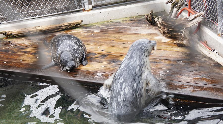08-seattle-aquarium-harbor-seals