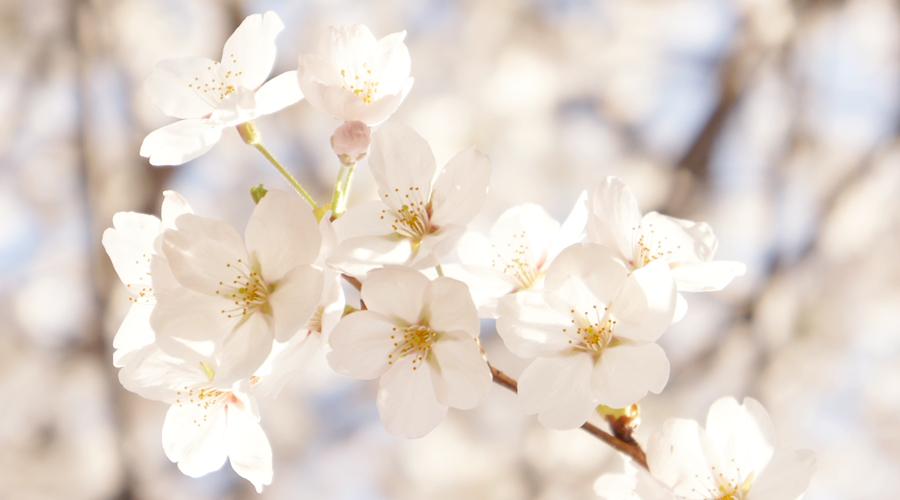 cherry-blossoms-sokchon-lake-korea--02