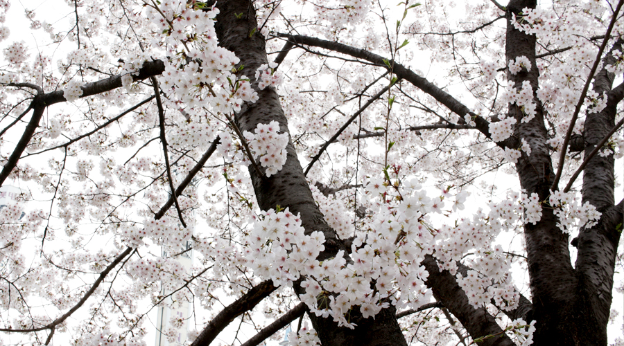 2015-04-09-korea-seoul-jamshil-seokchon-lake-cherry-blossoms-04